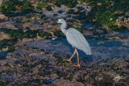 White-faced Heron, Mackenzies Bay