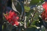 Red Gum? Sydney 7/28/2015