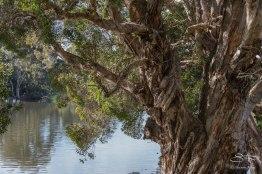 Eucalyptus in Centennial Park