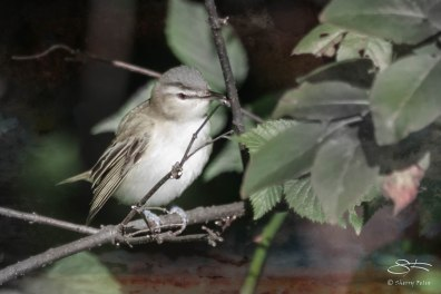 Red-eyed Vireo, Central Park 9/12/15