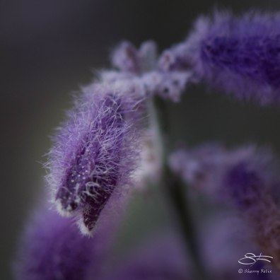 Little Fuzzy (Mint Family), St Lukes Garden