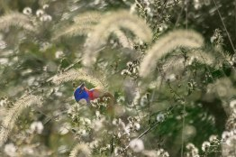 Painted Bunting in the Grasses