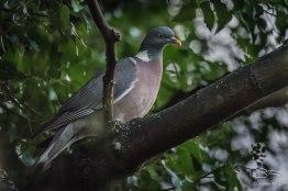 Wood Pigeon, Abney Park, London 12/20/15
