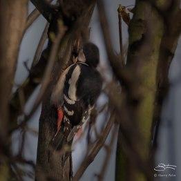 Great Spotted Woodpecker, Abney Park, London 12/20/15