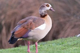 Egyptian Goose. WWT London Wetland 1/4/16