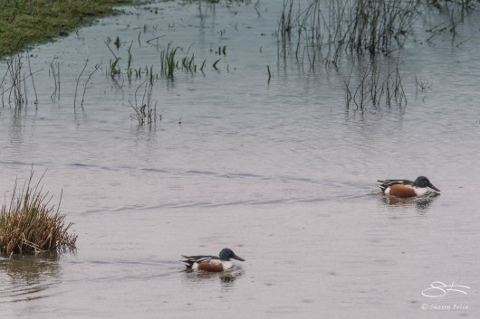 Northern Shoveler, WWT London Wetland 1/4/16