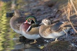 Wood Duck, WWT London Wetland 1/4/16