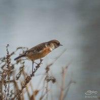 European Stonechat, WWT London Wetland 1/4/16