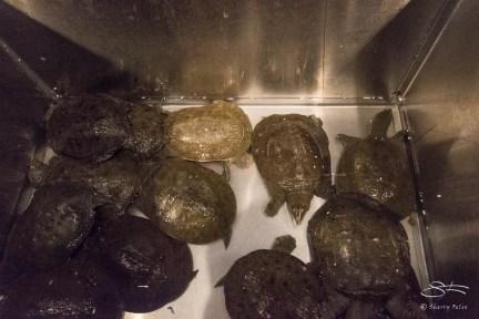 Before - Turtles Chinatown NYC 2/6/2016
