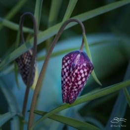 Fritillaria, Central Park 4/10/2016