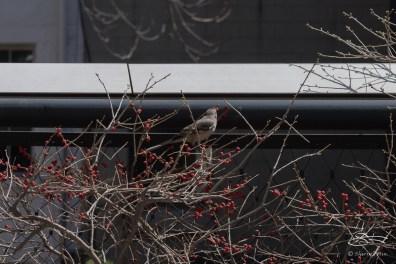 20150416 High Line - Mockingbird