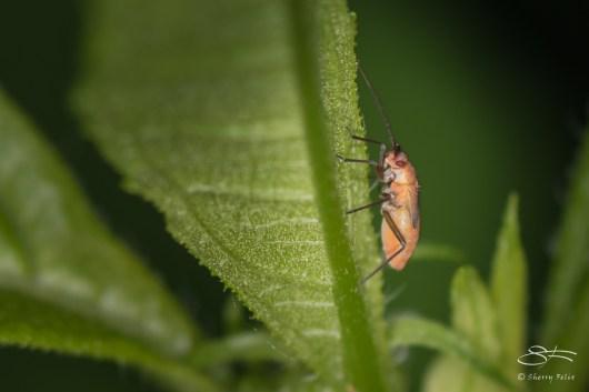Leaf and Plant Bug (Miridae), Cenntral Park 6/24/2016