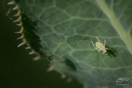 Aphid (Macrosiphini Amphorophora), Central Park 6/24/2016