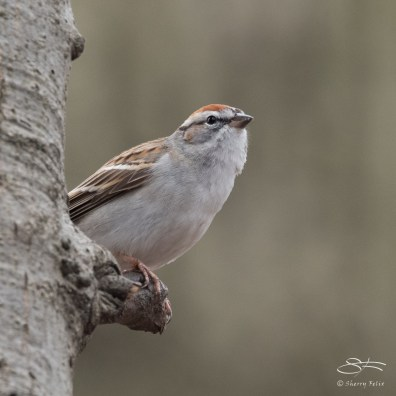 Chipping Sparrow, Central Park 3/29/2017