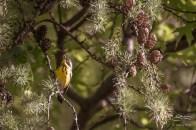 Magnolia Warbler, Central Park 5/16/2017