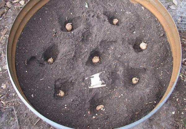 Guía paso a paso: cultivar 45 kilos de patatas en un barril.