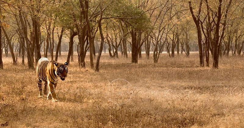 Pareja compra tierras y las convierte en reserva para que regresen los tigres