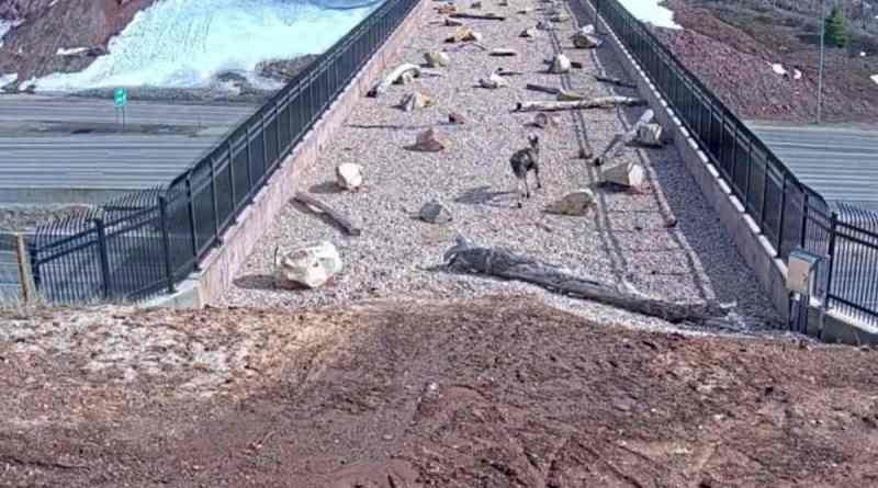 ¡Funciona! En Utah, los animales salvajes están usando el puente construido para ellos en la carretera.