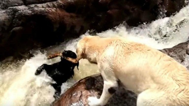 , VIDEO: Un perro salvó a otro de morir ahogado