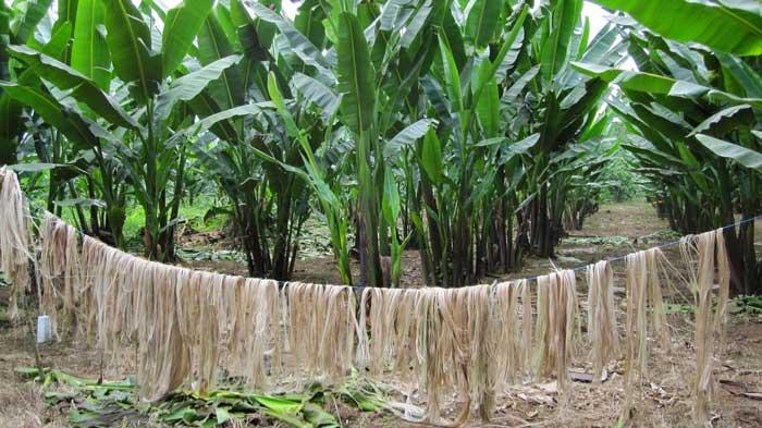 fibra de plátano