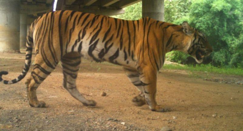 , India construye una autopista elevada para no afectar el paso de los tigres