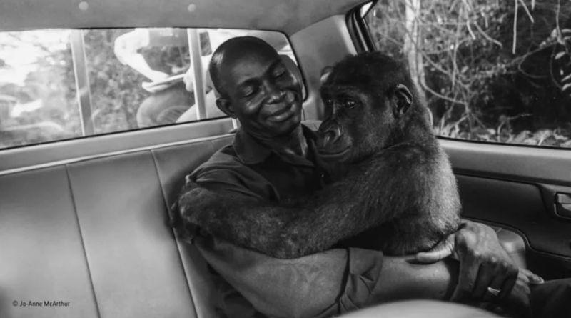 , Pikin, la Gorila que abraza amorosamente al hombre que la rescató de los cazadores