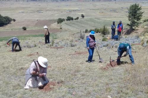 Con el sembrado de pino buscan mitigar impacto negativo del cambio climático en Puno.