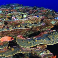 Endangered Corals from the Gulf of Mexico
