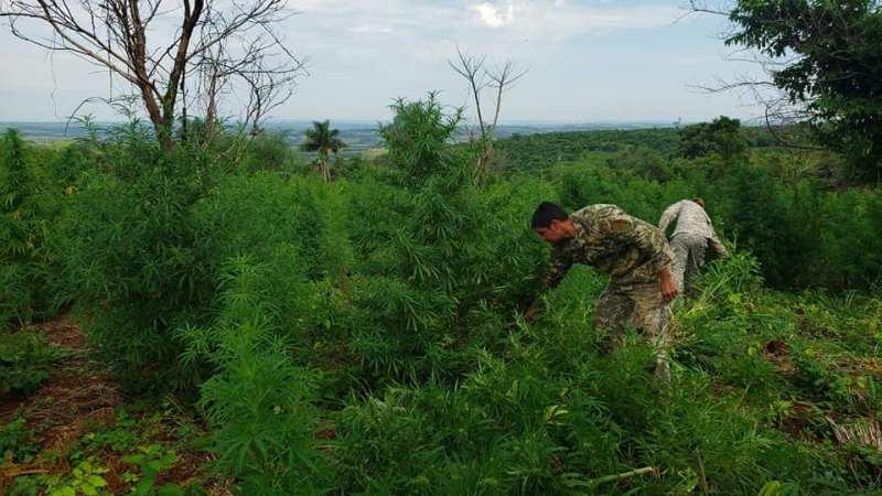 Em 4 dias, mega operação entre Paraguai e Brasil já destruiu 250 hectares de maconha e apreendeu 6,2 mil toneladas