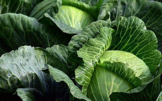 warzywa krzyżowe - kapusta