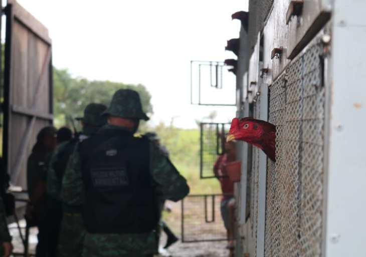 Operação resgata 70 galos de rinha e multa fazendeiro em R$ 480 mil no AM
