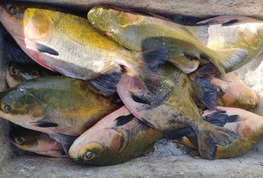 Base Arpão apreende mais de uma tonelada de pescado ilegal em Coari