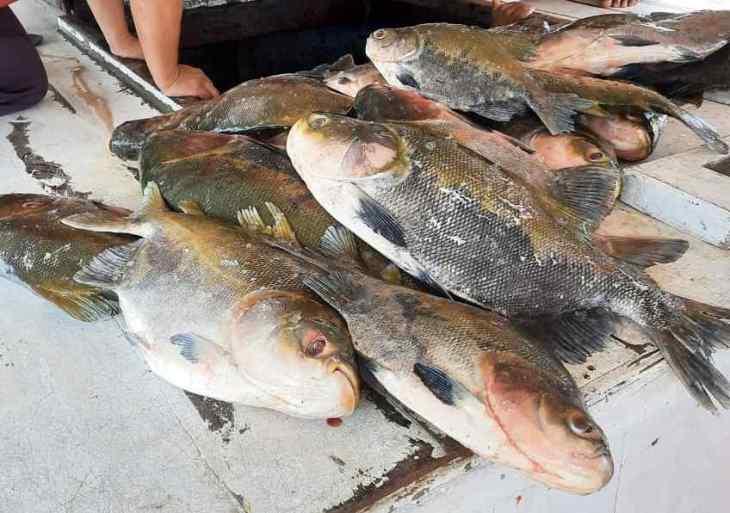 PMAM apreende 619 quilos de pescado ilegal em Beruri