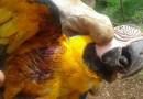 Arara cai de árvore após ser atingida com estilingue, quebra asa e morador é detido em MT