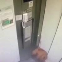 Vídeo: cachorro fica pendurado por coleira presa a elevador em SP