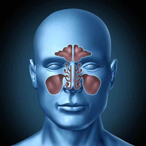 Ilustração de cabeça com seios nasais.