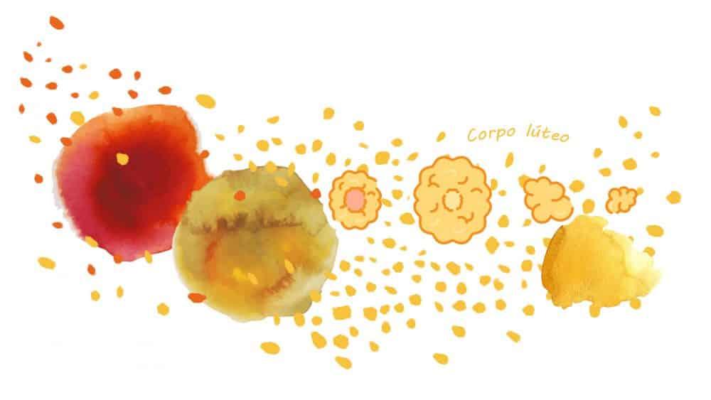 Fase lútea (após a liberação do óvulo)