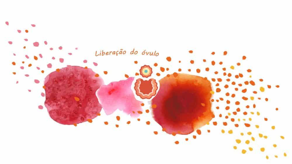 Fase ovulatória (liberação do óvulo)