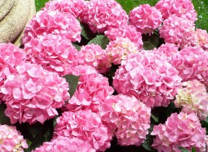 hortensia medicina felina