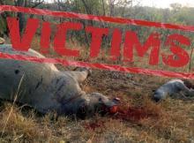 África do Sul legaliza venda de chifre de Rinoceronte