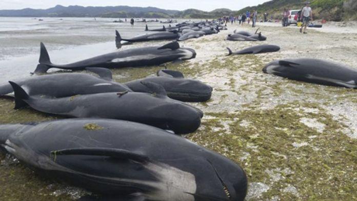 MAIS de duas dezenas de baleias piloto morreram, quarta-feira, após terem dado à costa em duas praias da ilha cabo-verdiana do Maio, por causas ainda desconhecidas