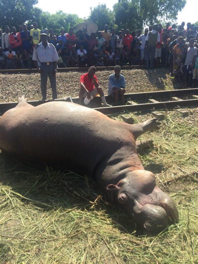 Um comboio de carga atropelou mortalmente um hipopótamo quando eram precisamente 00h: 43min no distrito de Dondo- Província de Sofala