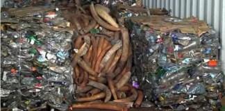 Parte das três toneladas do marfim apreendido no mês passado no Porto de Maputo foi roubada nos armazéns da (SERNIC) na cidade de Lichinga