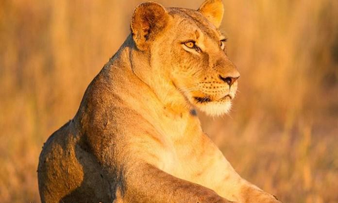 A Coutada 11 Zambeze Delta Safaris e a Coutada 10 Marromeu Safaris acolheram 24 leões para o repovoamento desta espécie animal no complexo de Marromeu.