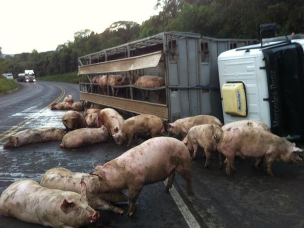 Caminhão com centenas de porcos vivos tomba na PR-092