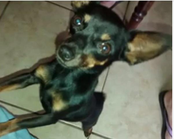 Paraná: Mulher vai passear com cachorro e acaba matando Pinscher que saiu da garagem a pauladas