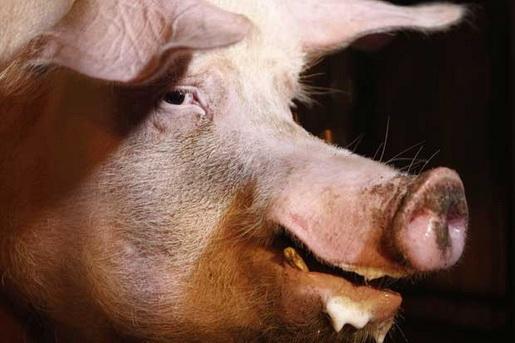 Homem é atacado por porco em Bandeirantes