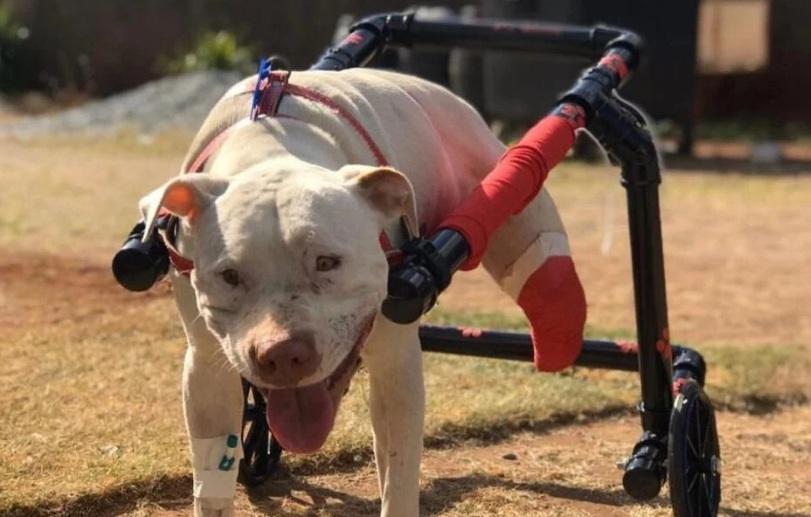Caso do pitbull Sansão que teve as pernas decepadas e foi amordaçado vai para a vara criminal
