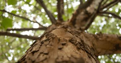 O lado negativo de plantar muitas árvores