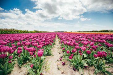 Les tulipes de la Torche, une explosion des sens !